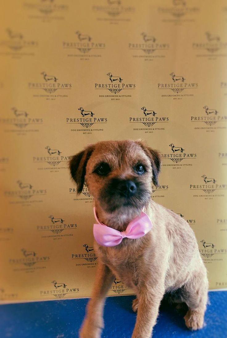 It's Ruby the Border Terrier