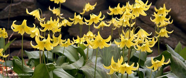Specialty Bulb Trout Lily | Specialty Bulb Bulbs for Sale | COLORBLENDS