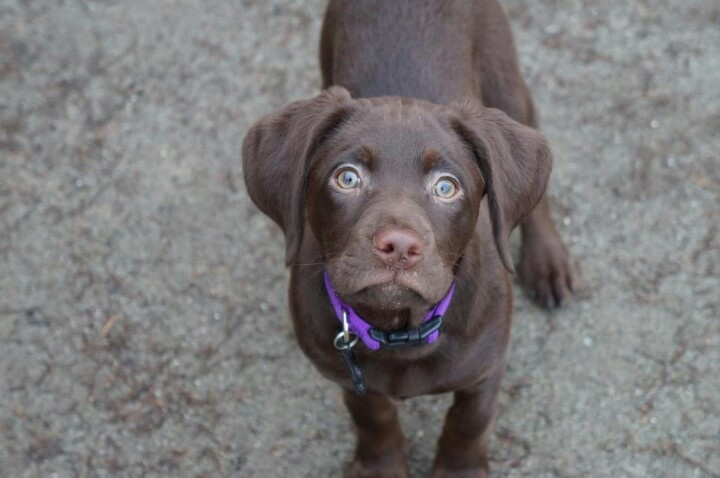 My 14 week old german shorthaired pointer /chocolate lab ...