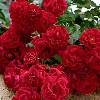 Red Ribbons Ground Cover Rose Michigan Bulb Use To