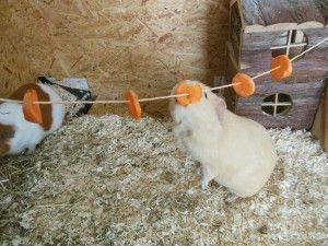 Food line for guinea pigs - great idea
