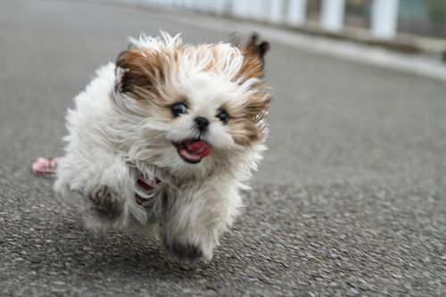 My dog, Shih Tzu, running toward me. I was running away from her and taking pictures at the same time. Because of that the focus is a little bit off... Must Have Dog Coverage! http://www.offers.couponrainbow.com/embrace-pet-insurance/