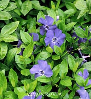 Vinca: periwinkle - grows fast - full shade to full sun, so can go anywhere!