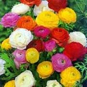 Ranunculus Asiaticus Perennial Flowers In Spring And Summer Deadhead Regularly Partial Shade