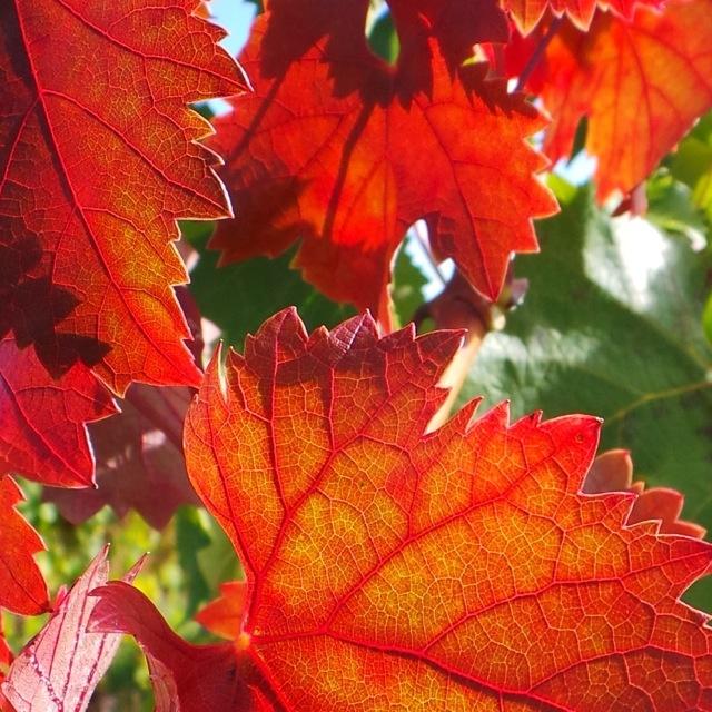 Amazing Autumn Colours @ Rochford Wines