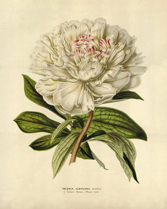 White Peony art antique print flower art print botanical prints Vintage prints Victorian art French prints old prints garden wall art flower