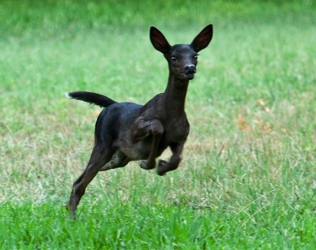 "Even more rare than albino are black, or ""melanistic,"" whitetail deer. Photographer R. M. Buquoi took these photos of a melanistic fawn near Austin, Texas. Texas seem to have a higher incidence of this mutation."