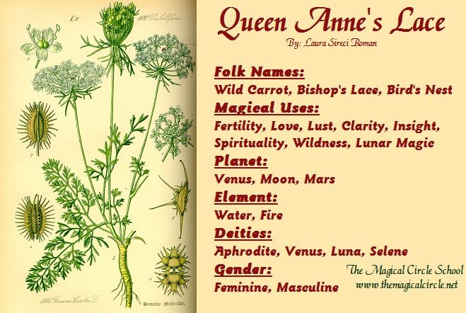 Queen Anne's Lace Magical Properties - The Magical Circle School - www.themagicalcircle.net