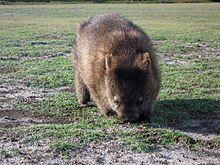 Common wombat - Wikipedia