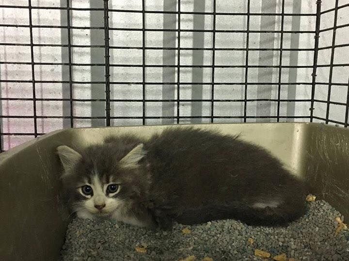 FOUND IN DUMPSTER!💔💔11/27/16-11/27/16-DIES FRIDAY at 9 AM!! 2 Female kittens. CPP160630-631 Found in a dumpster!! ►MUST have an adopter or rescue BEFORE 9 AM ***FRIDAY*** 12-2-16◄ 🔷Carthage Panola County Pound🔷 Carthage, TX 903-693-2877 Mon-Wed 9-4, Thurs 9-11:30, Fri 9-4 1024 US Highway 59 N Carthage, Texas carthagepanolapound@gmail.com