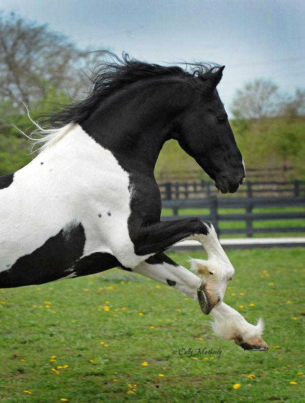 Barock Pinto stallion Dream Gait's Bizkit