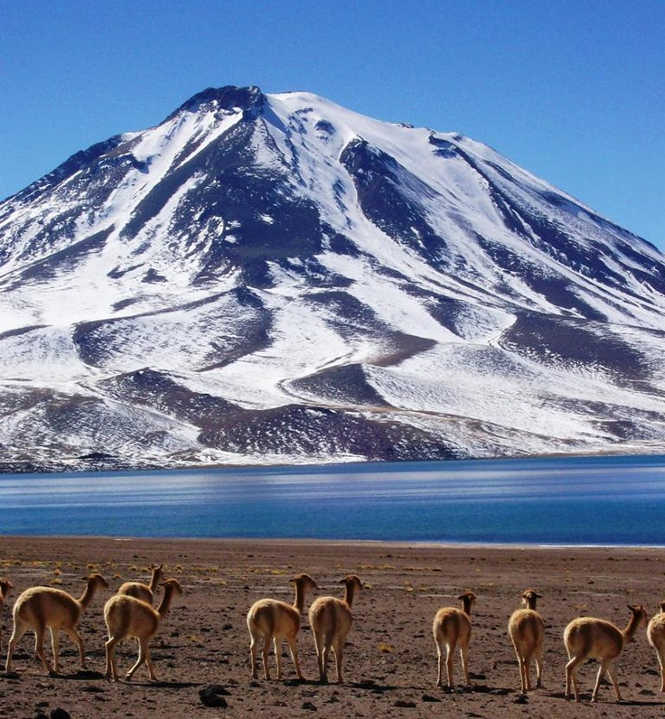 79 Best Images About Llamas Alpacas Vicu 241 As And