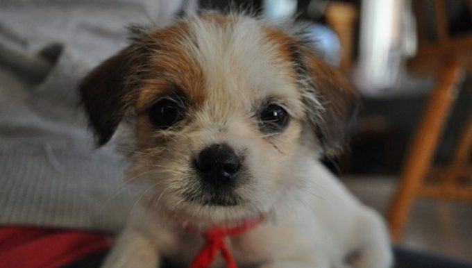 35 Unreal Shih Tzu Cross Breeds You Have To See To Believe With
