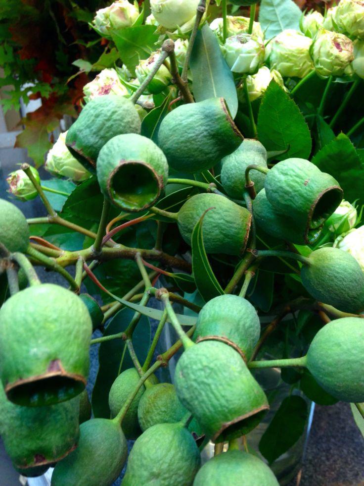 Eukalyptus-Früchte