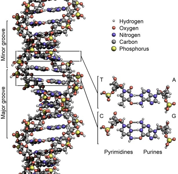 The structure of the DNA double helix. The atoms in the structure are colour-coded by element and the detailed structure of two base pairs are shown in the bottom right.