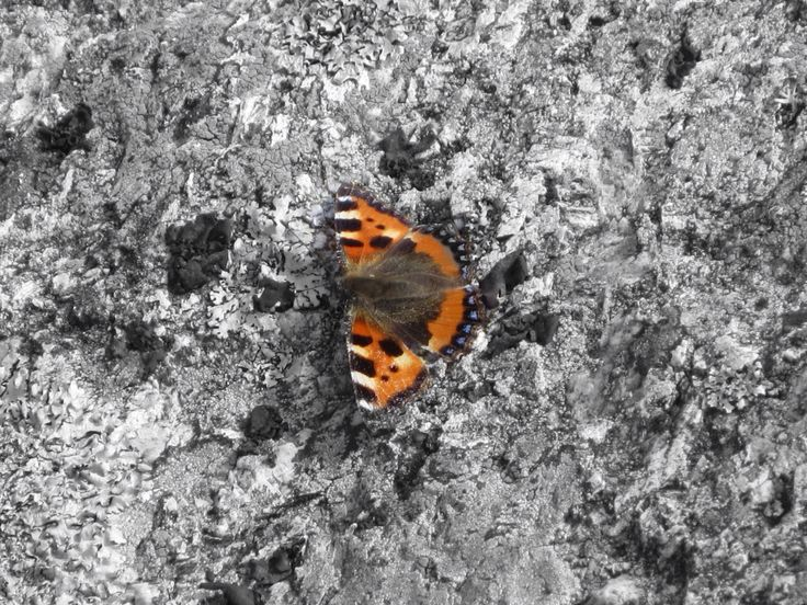 Look what I found!Butterfly in Norway☀️