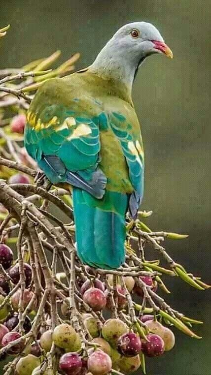 Wampoo Fruit Dove