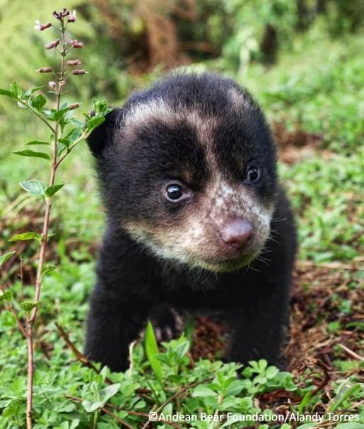 A Spectacled Bear Cub. (Aka: An Andean Bear; Native to South America.)