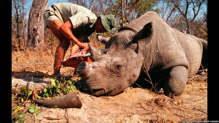 Números divulgados pelo governo da África do Sul indicam que a caça aos rinocerontes teve um aumento significativo em 2012. Acima, um pesquisador do Zimbábue retira o chifre de um rinoceronte. Foto: WWF