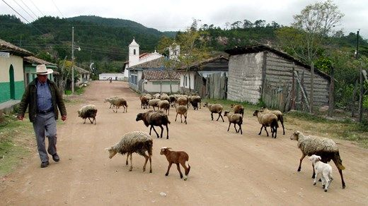 Goats walking on the street in a small village in Honduras, Central-America - Off the beaten track backpacking #farm #animals #kilroy #countryside #wanderlust #travel