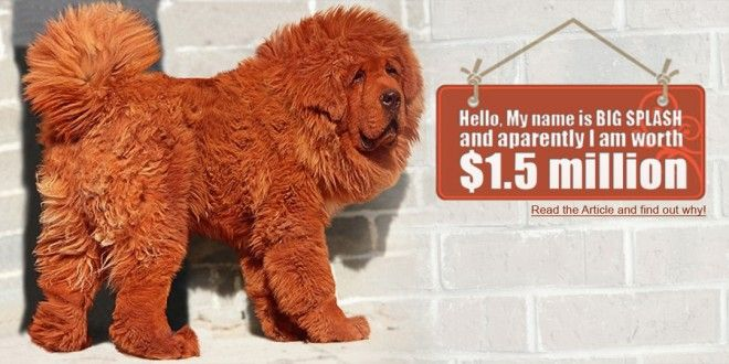 Article on the Worlds Most Expensive Dog: Tibetan Mastiff