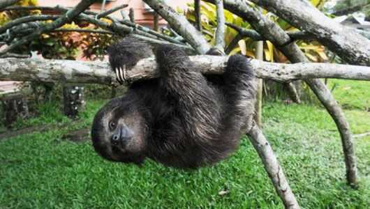 The Costa Rica Sloth Sanctuary was founded in 1992 to protect, nurse and study the animals, but also to teach people about them.