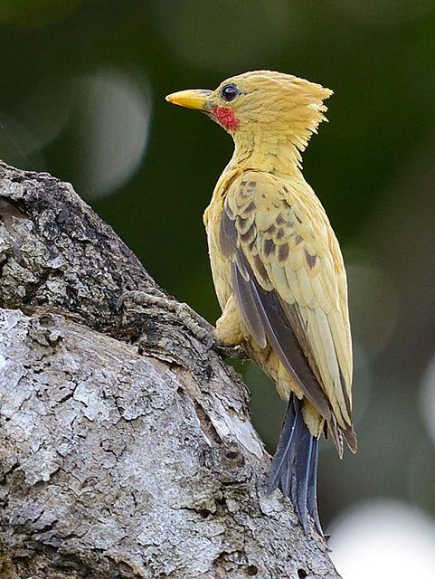 Pica-pau-amarelo ou Ipecutauá(Celeus flavus)