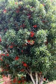 stenocarpus sinuatus  Perimeter shady, screening hedge