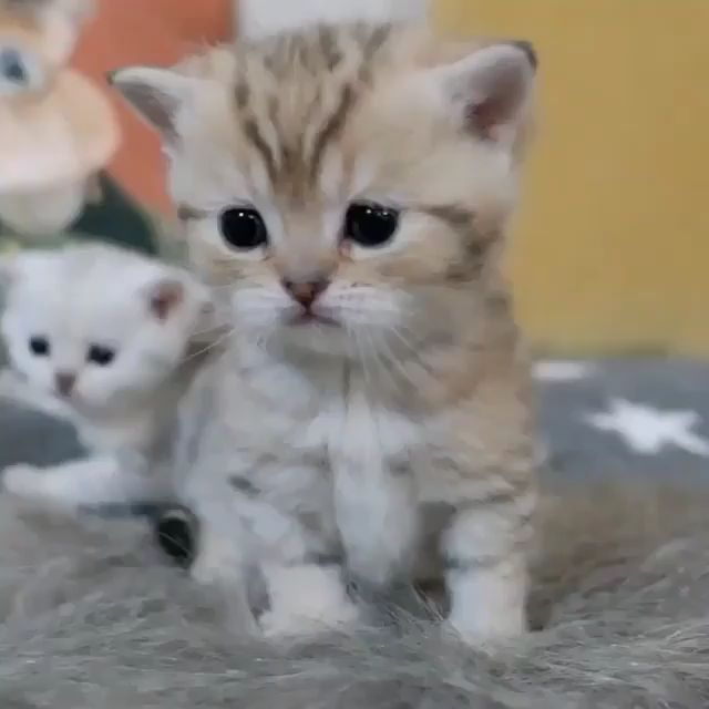 Most Amazingly Beautiful Cat Breeds In The World Catbreeds Cats Cute Baby Cats Cute Baby Animals Cute Cats