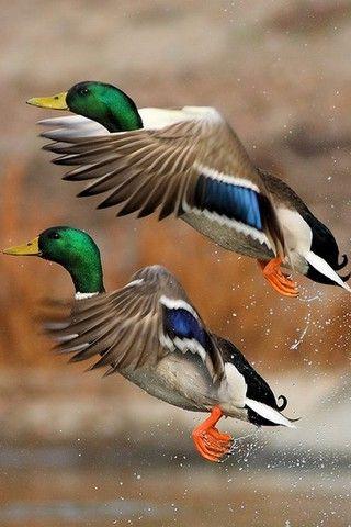 Patos volando http://www.animalesomnivoros.es/aves-omnivoras/