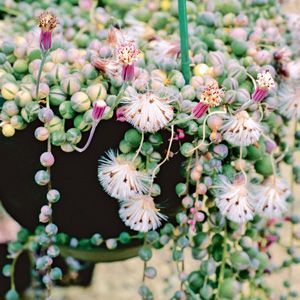string of beads. What a cool plant! A native of southwest Africa, string of beads is a relative of the annual bedding plant dusty miller (Senecio cineraria).