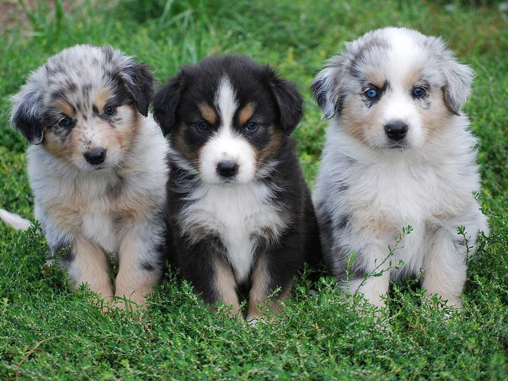 Australian Shepherd German Shepherd Mix Puppies Pictures