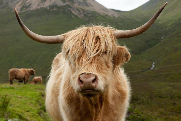 Highland cattle by Fredrik Niva on 500px