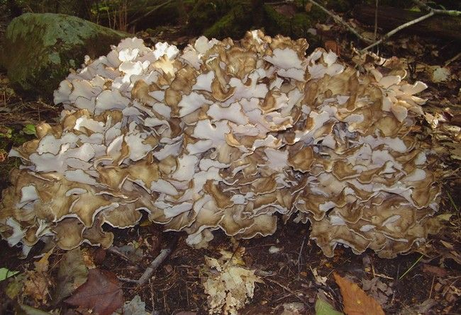 Hen Of The Woods (Grifolia Fondosa) in Ontario