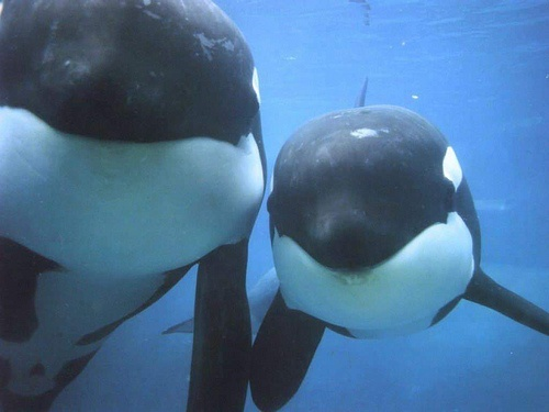 Whales!Killers Whales,  Orcinus Orcas, Sea Creatures,  Grampus, The Ocean, Sea Wolf,  Killers, Life Change, Killers Whals