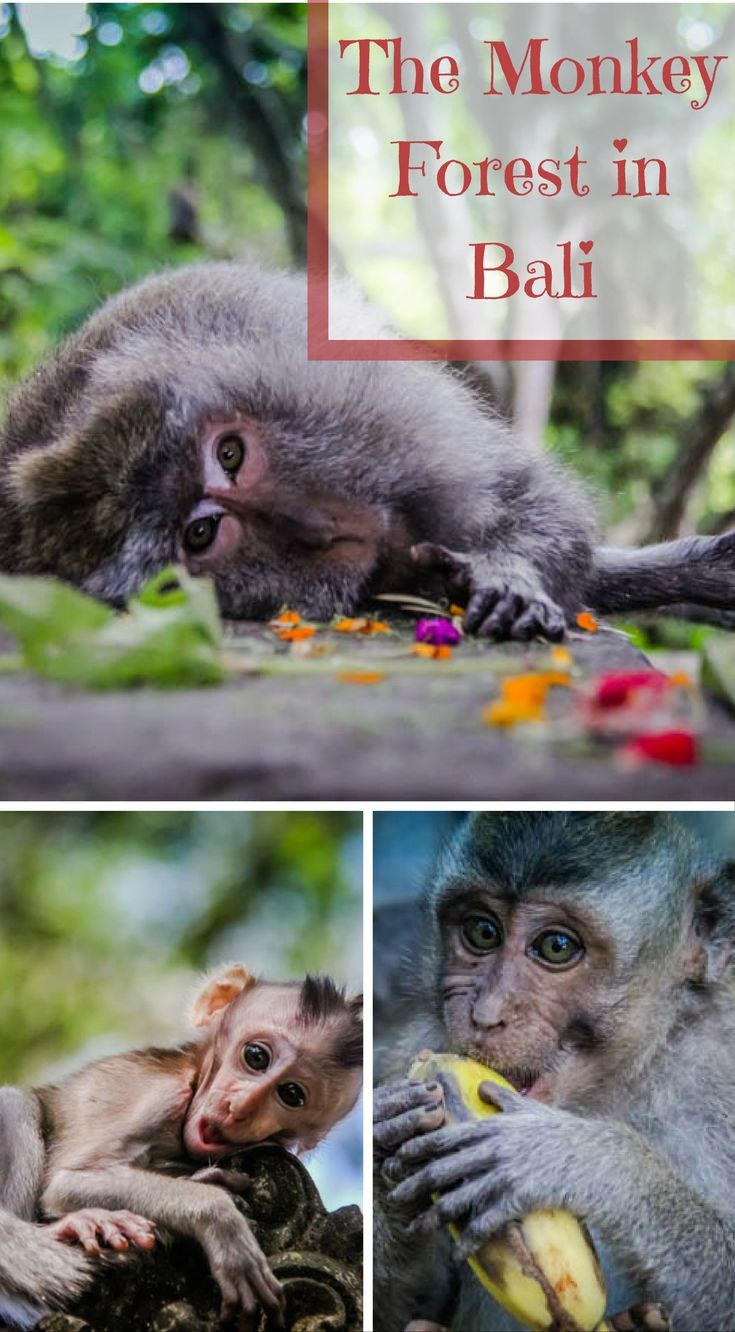 Tips for Visiting the Monkey Forest in Bali, Indonesia. The Sacred Monkey Forest in Ubud, Bali comes with it's fair share of controversy. We have met people that won't set foot in the place because of the experiences they have had or the stories they have heard from others. Click to read http://www.divergenttravelers.com/tips-visiting-monkey-forest-bali/