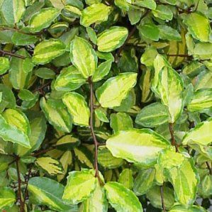 17 best images about plantas e on pinterest canada for Arbustos de hoja perenne resistentes al frio