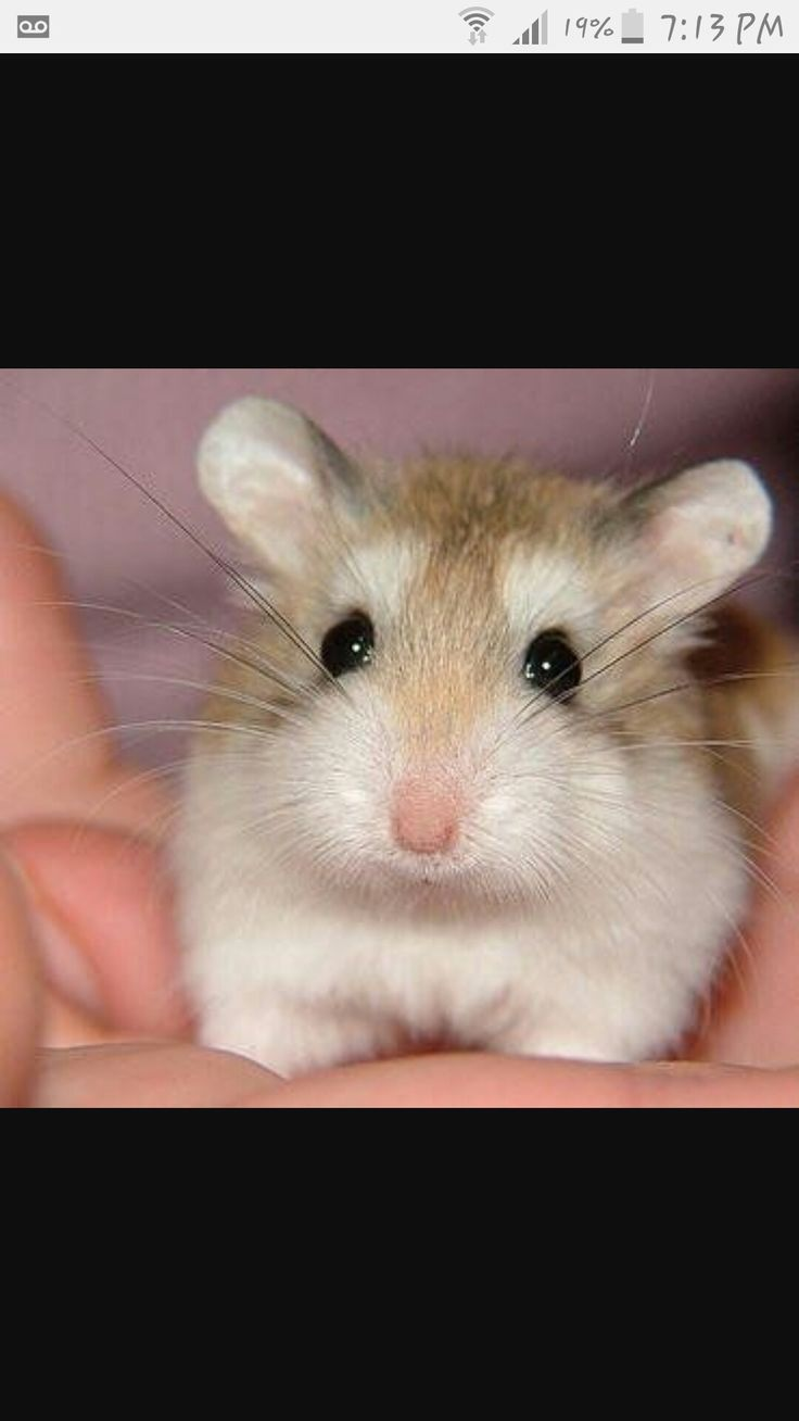top 25+ best dwarf hamsters for sale ideas on pinterest | hamster