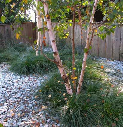 Birch trees with Carex tumicola in the Castro- a nice native grass that is drought tolerant. Aqua cove pebbles mulch the rest / growsgreen landscape design
