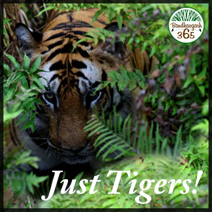 Do not miss the pleasure of sighting the thrilling tigers. Come to Bandhavgarh. Book: www.bandhavgarh365.com #JungleSafariinIndia #BandhavgarhJungleSafari