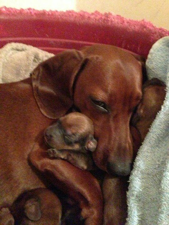 Mama and baby doxie