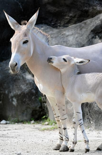 Rare Somali Wild Ass Is Born At the Miami Zoo. Check out the pics...adorable!