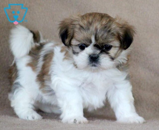Tia Shih Tzu Puppy For Sale Keystone Puppies Shih Tzu Puppy Shih Tzu Shitzu Puppies