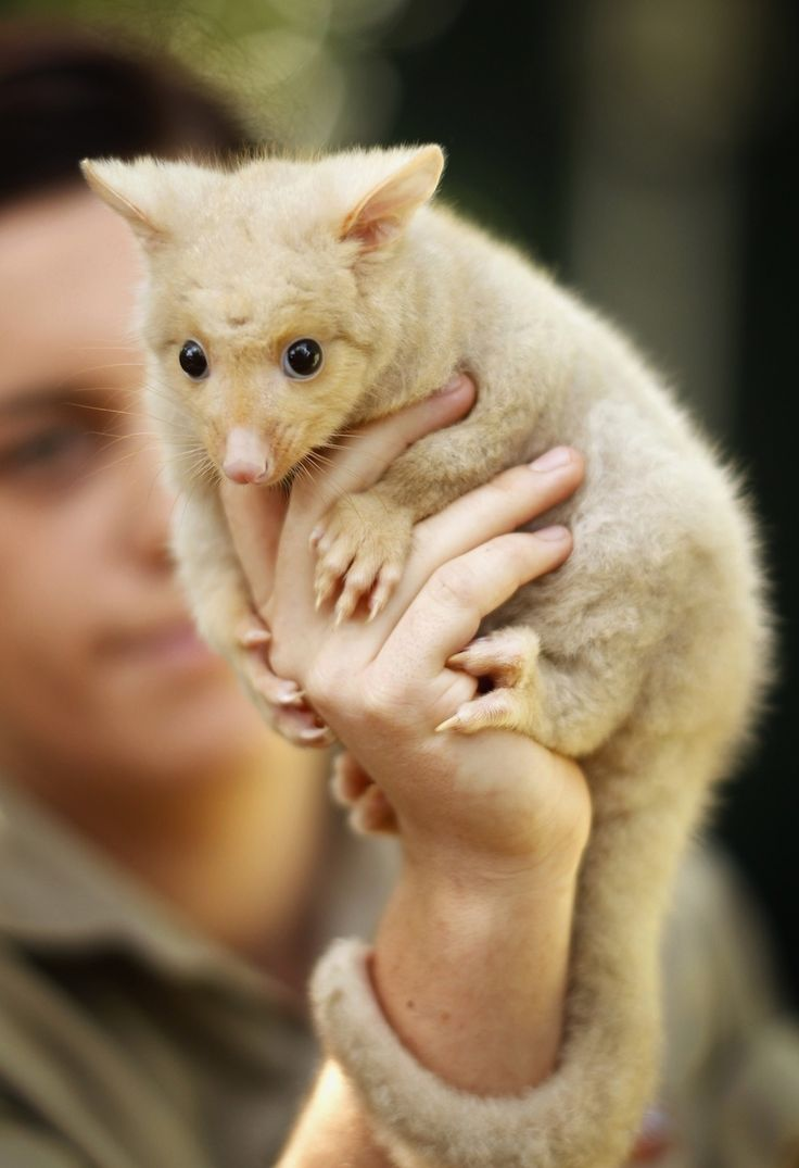 Australia's Golden Brushtail Possum ~ These adorable and rare creatures are an unusual form of the common brushtail possum that get their fluffy golden coats from a genetic mutation that results in low levels of melanin in their skin and fur.  They are a rare sight in the wild, being found mostly in small pockets around Tasmania where they have fewer wild predators.