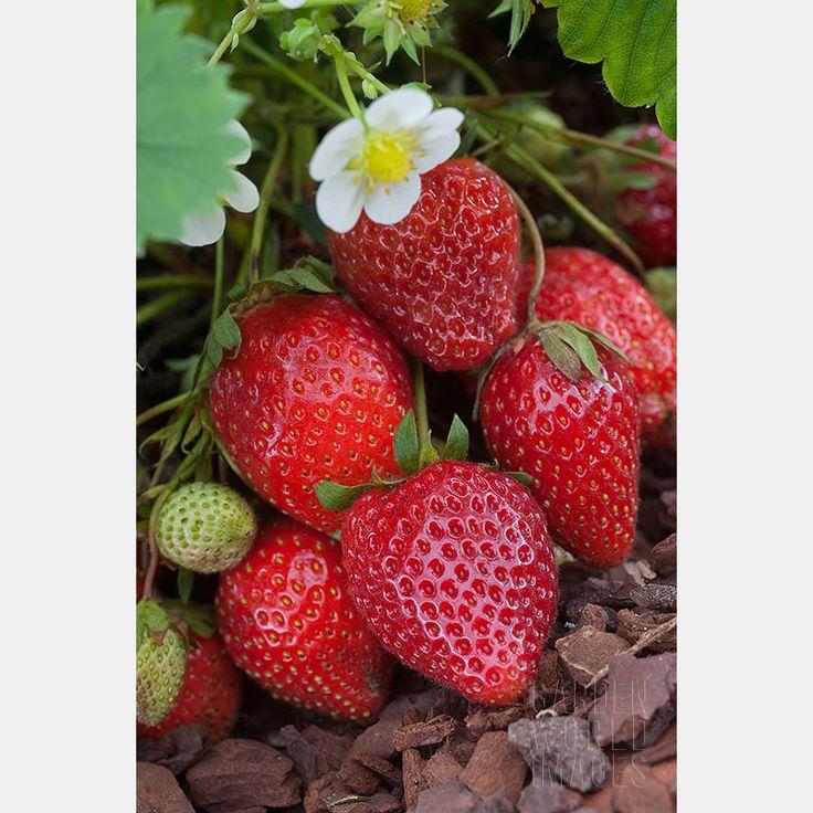 fraisier ostara remontant potager plantations potager. Black Bedroom Furniture Sets. Home Design Ideas