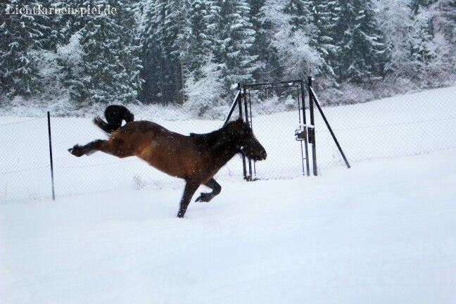 Lettir Islandpferd Mausfalbe Rappe Isi Pferd Pony tobt im Schnee Schwarzwald www.lichtfarbenspiel.de