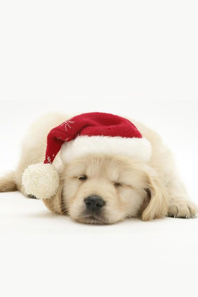 Christmas Puppy Aghhfd So Cute Christmas Puppy