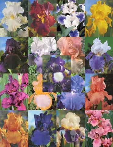 Holland bulb farms: The Supreme Iris Collection with 17 rhizomes