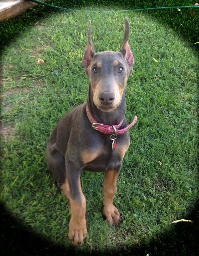 Baby blue doberman