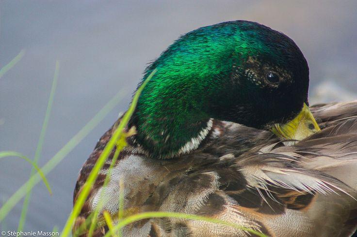 Mallard Duck by Stéphanie Masson on 500px - Wild duck in a small pond.